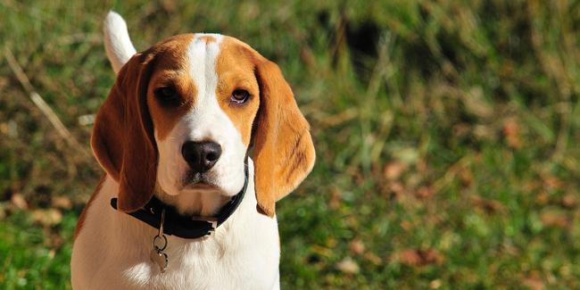 Assurance Beagle, choisir la bonne mutuelle santé pour votre chien