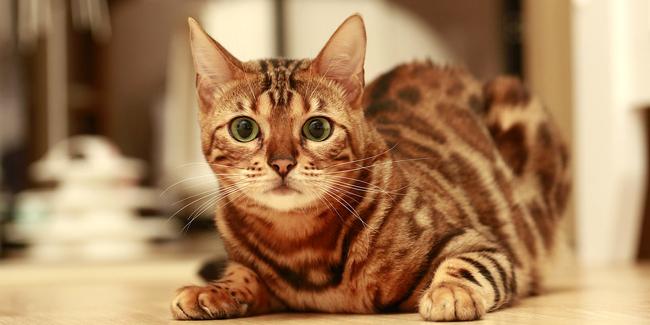 Assurance Sacré de Bengal, choisir la bonne mutuelle santé pour votre chat