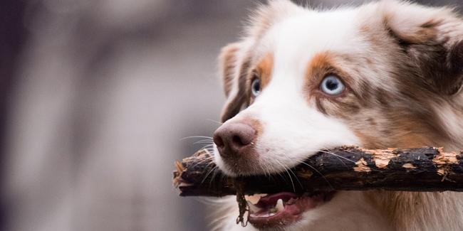 Assurance Berger Australien, choisir la bonne mutuelle santé pour votre chien