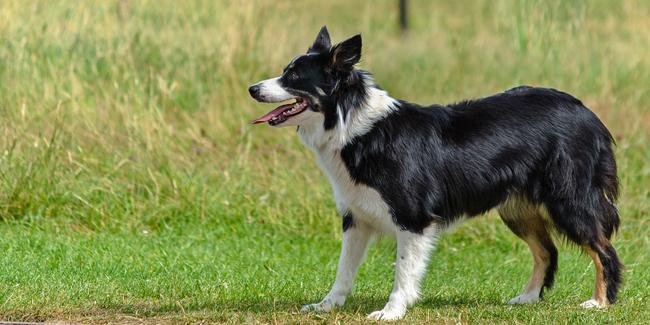 Assurance Border Collie, choisir la bonne mutuelle santé pour votre chien