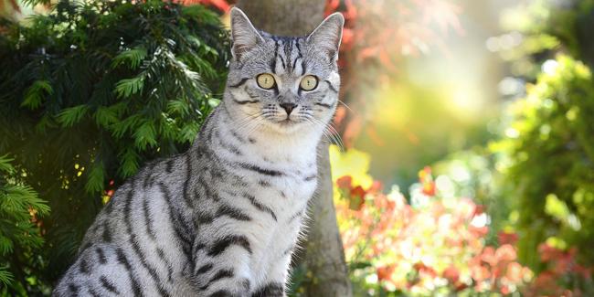 Le British Shorthair : ses problèmes de santé, choisir la bonne mutuelle pour ce chat