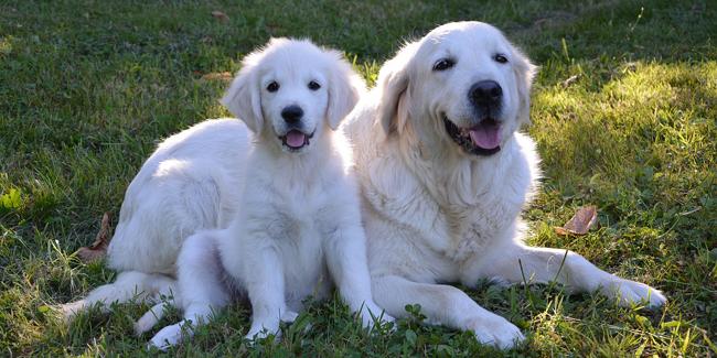 Le Golden Retriever : ses problèmes de santé, choisir la bonne mutuelle pour ce chien