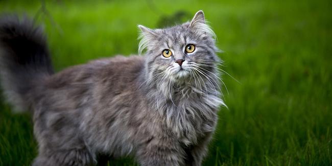 Assurance Maine Coon, choisir la bonne mutuelle santé pour votre chat