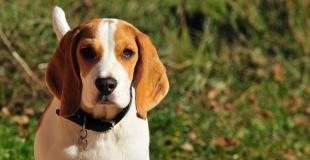 Le Beagle : caractère, origine et principaux problèmes de santé de cette race de chien