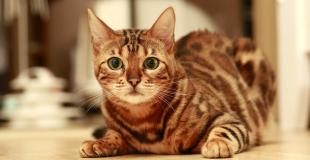 Le Bengal : caractère, origine et principaux problèmes de santé de cette race de chat