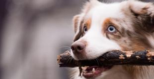 Le Berger Australien : caractère, origine et principaux problèmes de santé de ce chien