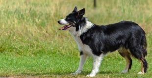 Le Border Collie : caractère, origine et principaux problèmes de santé de ce chien