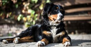 Le Bouvier Bernois : caractère, origine et principaux problèmes de santé de ce chien