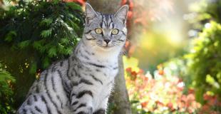Le British Shorthair : caractère, origine et principaux problèmes de santé de ce chat