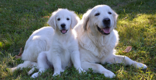 Le Golden Retriever : caractère, origine et principaux problèmes de santé de ce chien