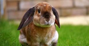 Le lapin de compagnie : origine et principaux problèmes de santé du lapin