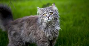 Le Maine Coon : caractère, origine et principaux problèmes de santé de cette race de chat