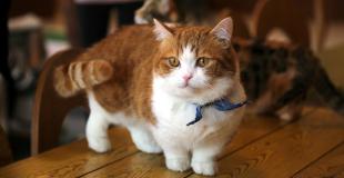Le Munchkin : caractère, origine et principaux problèmes de santé de cette race de chat