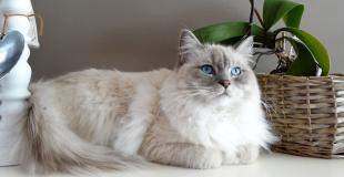 Le Ragdoll : caractère, origine et principaux problèmes de santé de cette race de chat