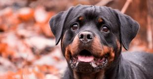 Le Rottweiler : caractère, origine et principaux problèmes de santé de cette race de chien