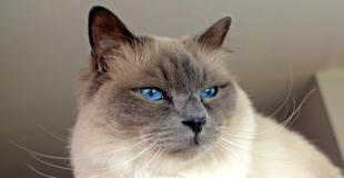 Le Sacré de Birmanie : caractère, origine et principaux problèmes de santé de ce chat