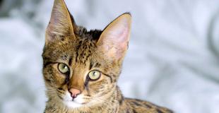 Le Savannah : caractère, origine et principaux problèmes de santé de cette race de chat