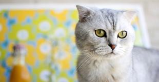 Le British Scottish Fold : caractère, origine et principaux problèmes de santé de ce chat