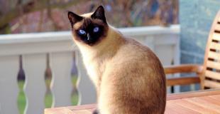 Le Siamois : caractère, origine et principaux problèmes de santé de cette race de chat