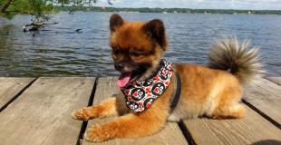Le Spitz nain : caractère, origine et principaux problèmes de santé de cette race de chien