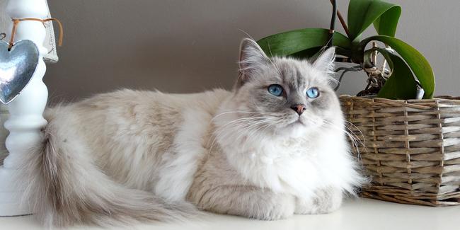 Assurance Ragdoll, choisir la bonne mutuelle santé pour votre chat