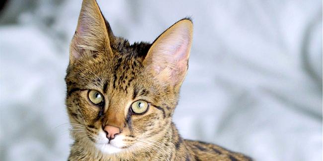 Assurance Savannah, choisir la bonne mutuelle santé pour votre chat