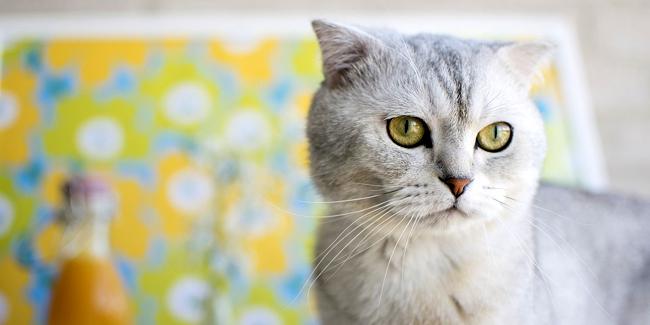 Le Scottish Fold : ses problèmes de santé, choisir la bonne mutuelle pour ce chat