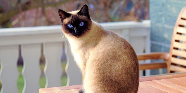 Assurance Siamois, choisir la bonne mutuelle santé pour votre chat