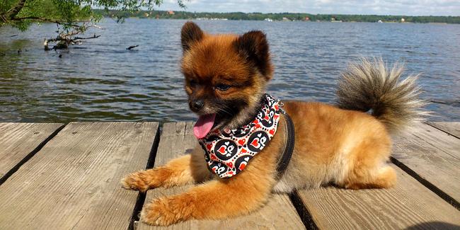 Assurance Spitz nain (Loulou de Poméranie), choisir la bonne mutuelle santé pour votre chien
