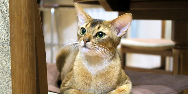 L'Abyssin : caractère, origine et principaux problèmes de santé de cette race de chat
