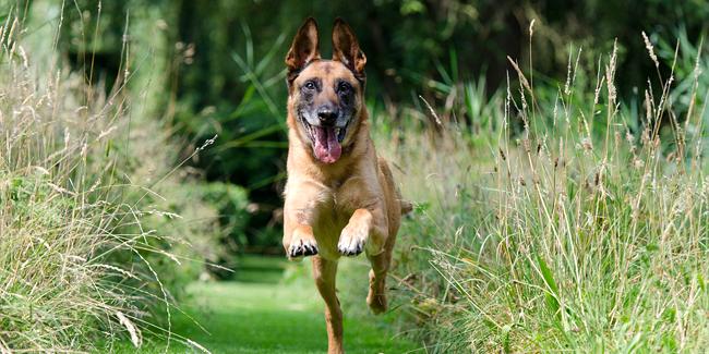 Le Berger Belge Malinois : ses problèmes de santé, choisir la bonne mutuelle pour ce chien