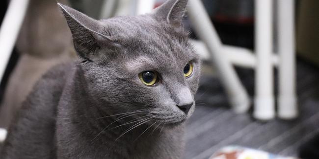 Le Bleu Russe : caractère, origine et principaux problèmes de santé de cette race de chat