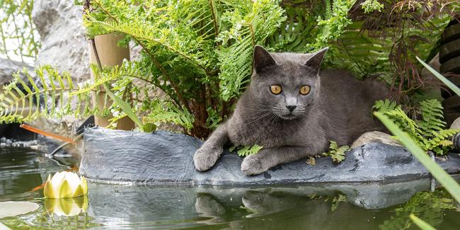 Le Chartreux : caractère, origine et principaux problèmes de santé de cette race de chat