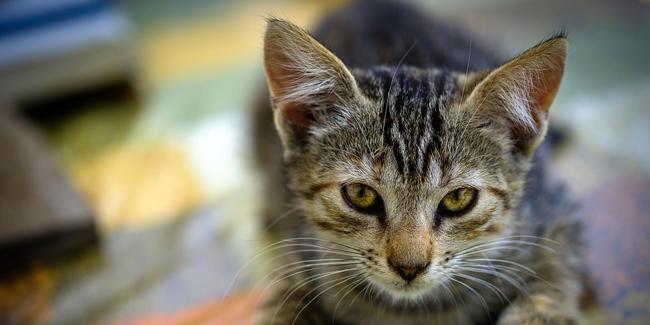 Coryza du chat : symptômes, traitement et prévention