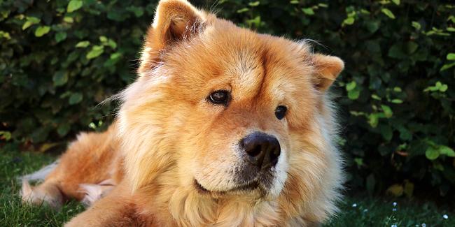 Le Chow-Chow : caractère, origine et principaux problèmes de santé de cette race de chien