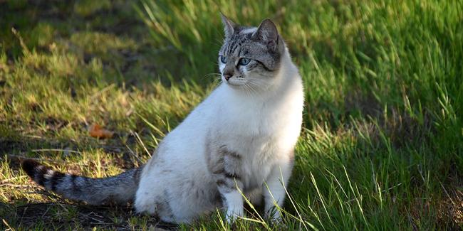 L'Européen : caractère, origine et principaux problèmes de santé de cette race de chat