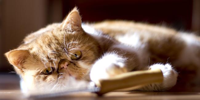 L'Exotic Shorthair : caractère, origine et principaux problèmes de santé de cette race de chat