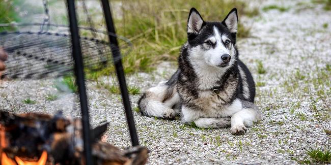 Le Husky : ses problèmes de santé, choisir la bonne mutuelle pour ce chien