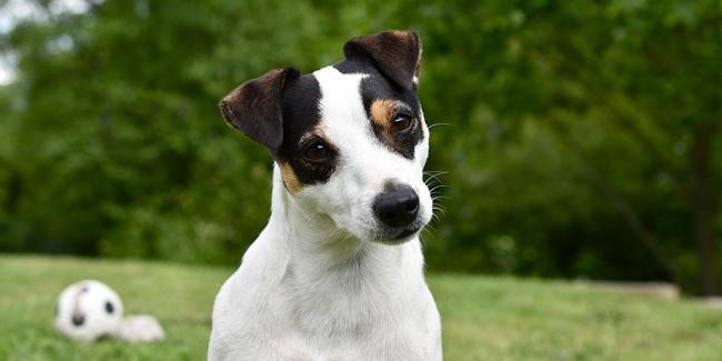 Le Jack Russell : caractère, origine et principaux problèmes de santé de cette race de chien
