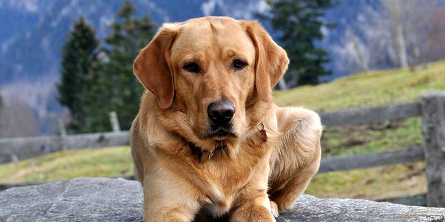 Le Labrador : caractère, origine et principaux problèmes de santé de cette race de chien