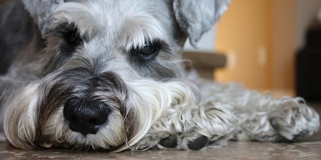 Métrite chez la chienne : symptômes, traitement et prévention