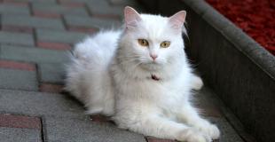 L'Angora Turc : caractère, origine et principaux problèmes de santé de cette race de chat