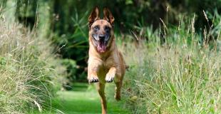 Le Malinois : caractère, origine et principaux problèmes de santé de cette race de chien