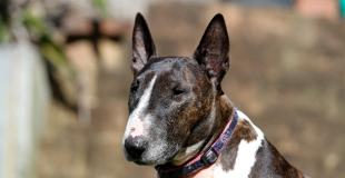 Le Bull Terrier : caractère, origine et principaux problèmes de santé de cette race de chien