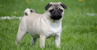 Le Carlin : caractère, origine et principaux problèmes de santé de cette race de chien