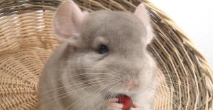 Le chinchilla : origine et principaux problèmes de santé du chinchilla