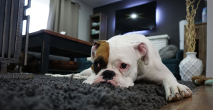 La cystite chez le chien : symptômes, traitement et prévention