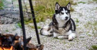 Le Husky : caractère, origine et principaux problèmes de santé de cette race de chien