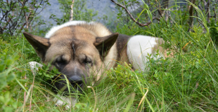 La leishmaniose du chien : symptômes, traitement et prévention