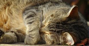 Le lymphome félin, cancer du chat : symptômes, traitement et prévention